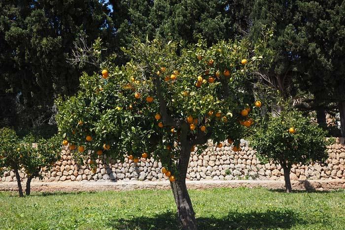 Αποτέλεσμα εικόνας για Πορτοκαλιά